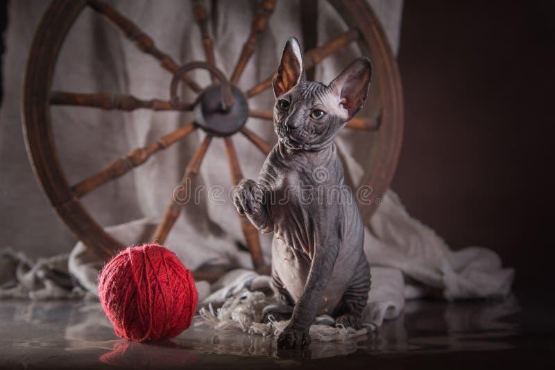 Download Sphinx De Chat De Kitty, Chauve Nu Image stock - Image du domestique, noir: 45352063