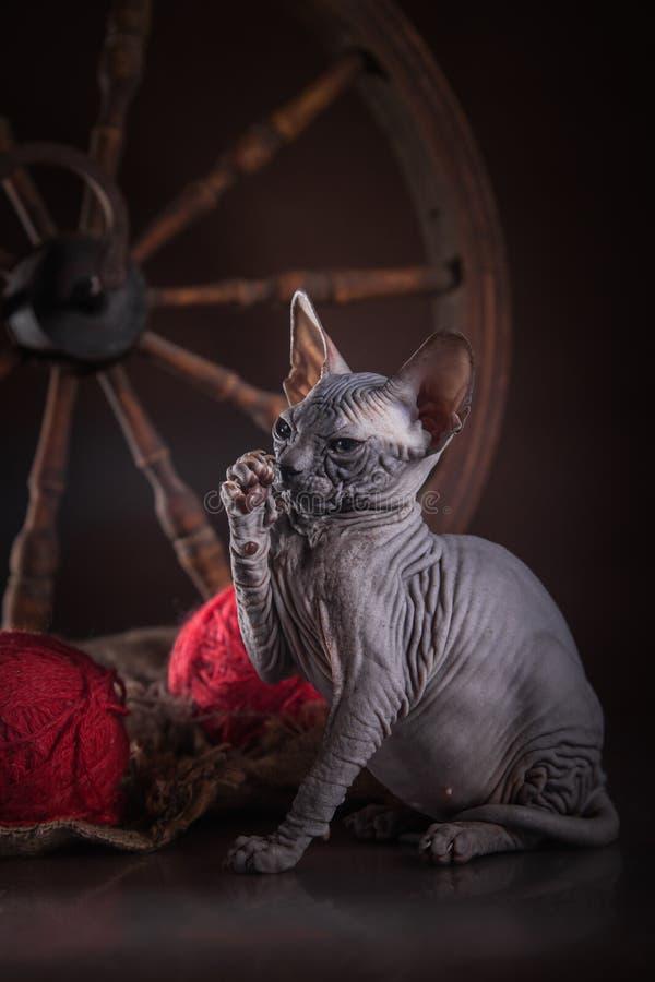 Download Sphinx De Chat De Kitty, Chauve Nu Image stock - Image du regarder, félin: 45352079