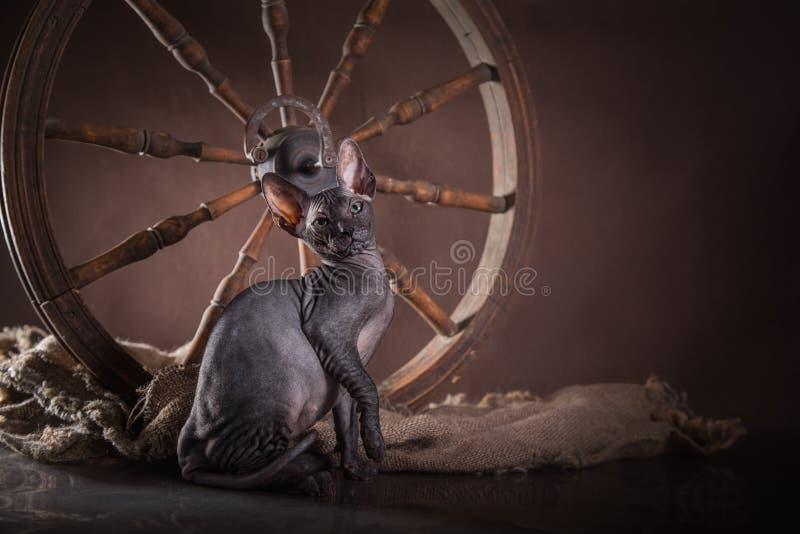 Download Sphinx De Chat De Kitty, Chauve Nu Image stock - Image du félin, mammifère: 45352099