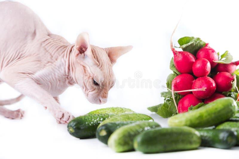 Sphinx de chat mangeant le concombre frais image libre de droits