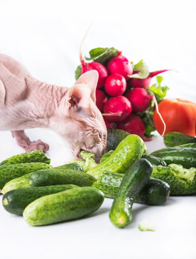 Sphinx de chat mangeant le concombre frais photos stock