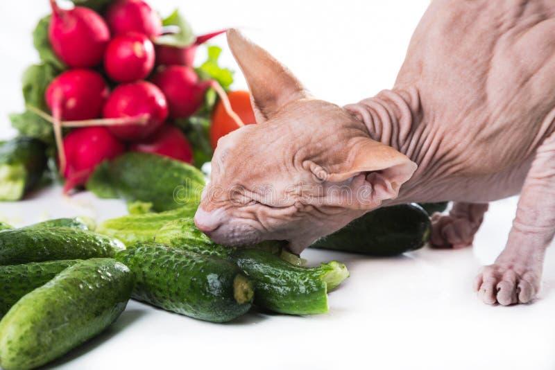 Sphinx de chat mangeant le concombre frais image stock