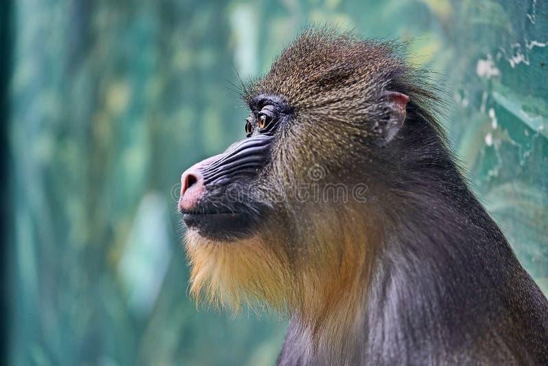 Sphinx de Mandrillus de mandrill ou de sphinx Les mandrills vivent en grande partie dans les forêts tropicales tropicales €» un images libres de droits