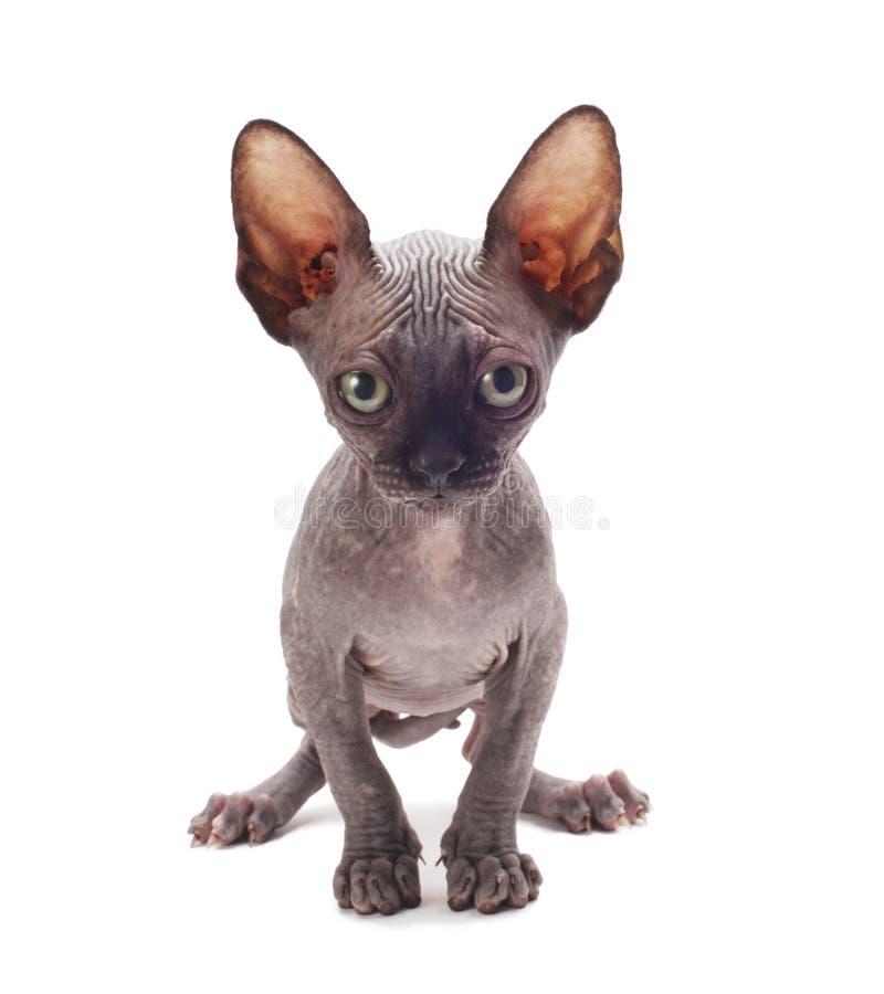 Sphinx del gattino fotografia stock