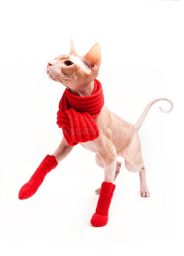 Sphinx do gato morno com lenço e as peúgas vermelhos imagem de stock