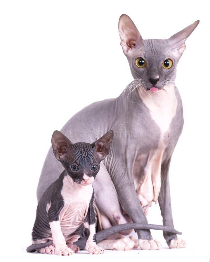 Sphinx, gato da mamã e gatinho fotografia de stock