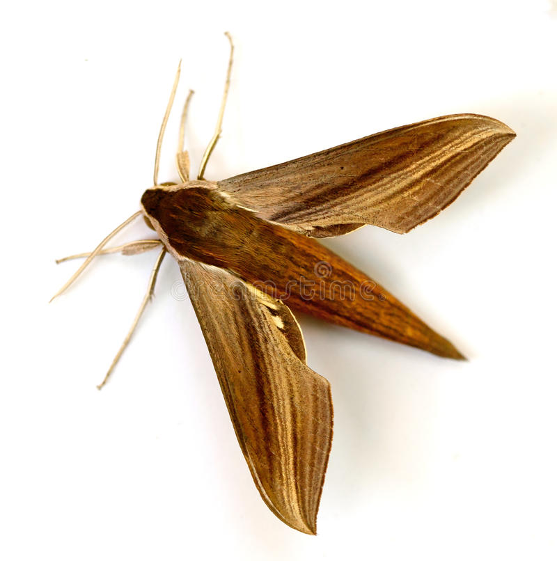 Download Sphinx Moth stock image. Image of tersa, isolated, beautiful - 26626953