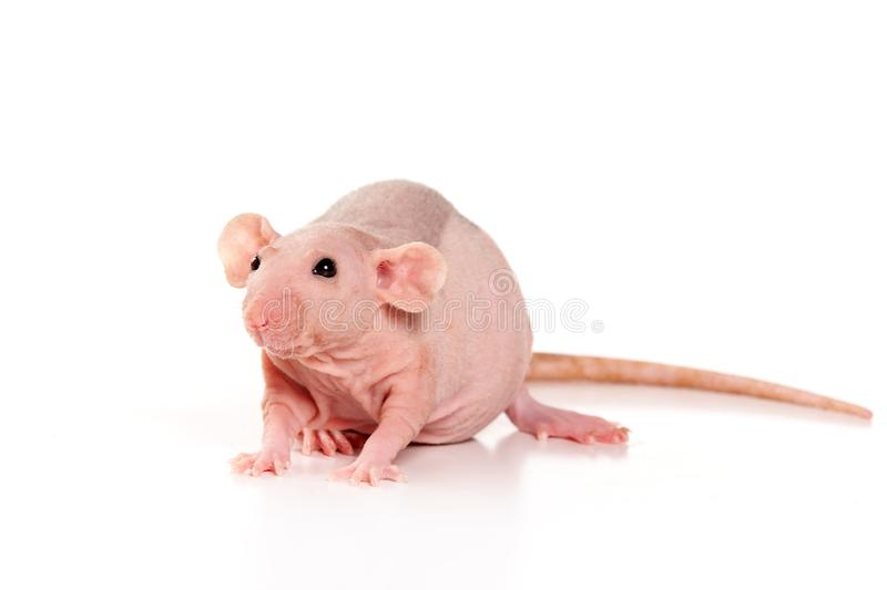 Sphinx rat isolated on white royalty free stock photo