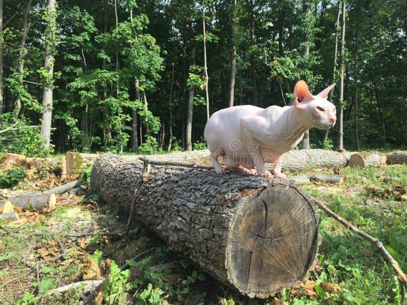 Sphyn-Katze auf einem Baum stockfotografie
