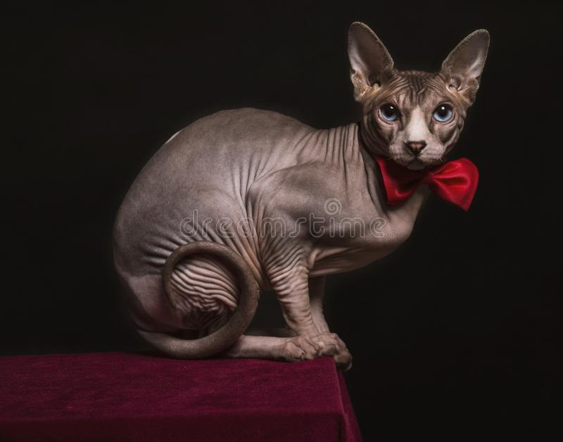Sphyns kot z łęku krawatem obraz stock
