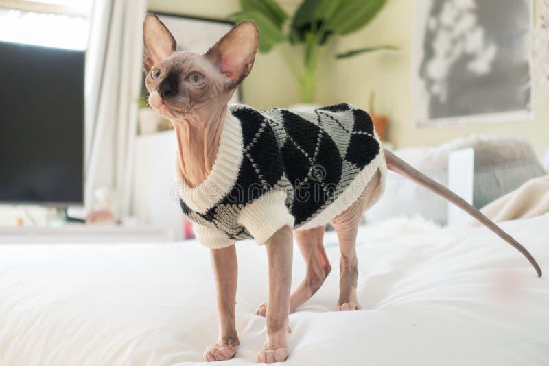 Sphynx小猫佩带的毛线衣 免版税库存图片