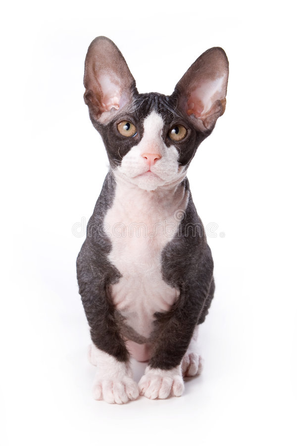sphynx кота стоковые изображения