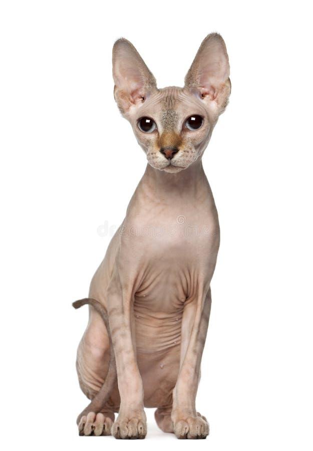 sphynx портрета 6 месяцев кота старое стоковая фотография
