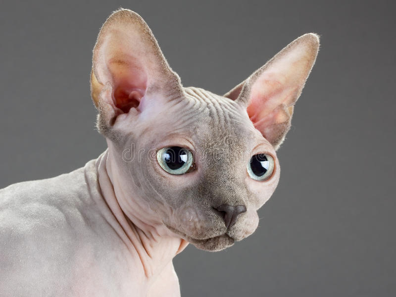 Sphynx images stock