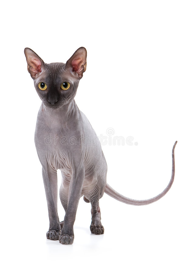 Download 猫sphynx 库存照片. 图片 包括有 灰色, 本质, 被平衡的, 似猫, 黄色, 嬉戏, 查找, 讨人喜欢 - 3671918
