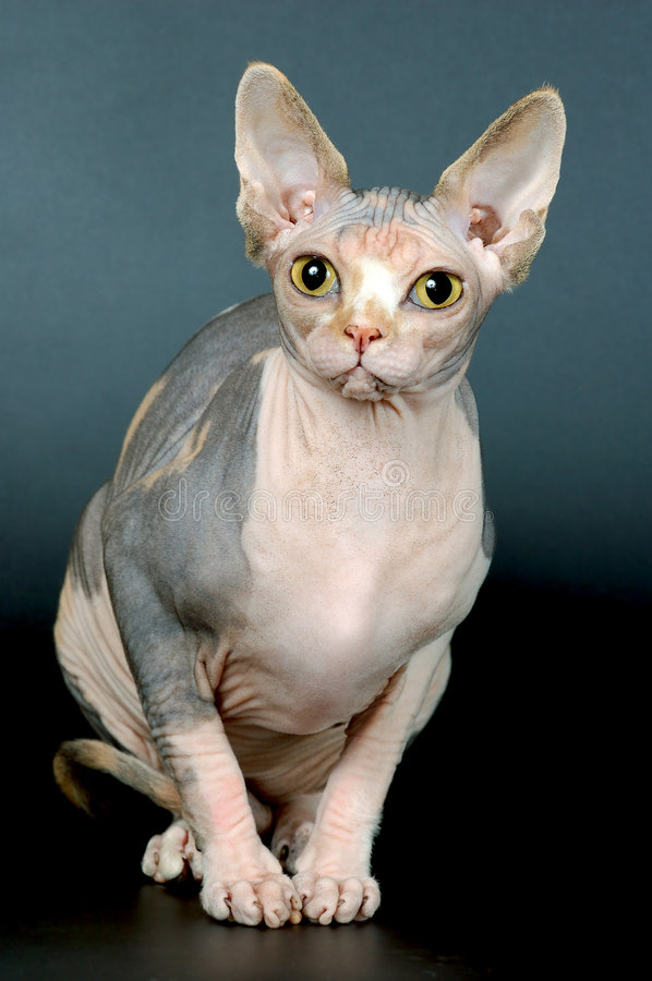 sphynx photos stock