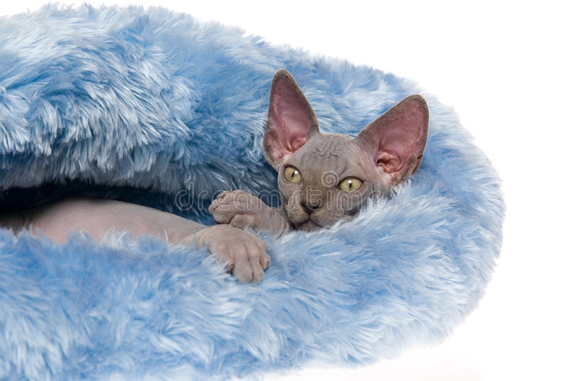 Sphynx calvo Tired na cama azul fotografia de stock