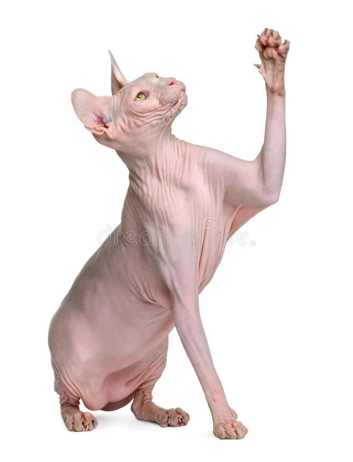 Sphynx Cat With Eyes Closed, 1 Year Old Stock Photo - Image