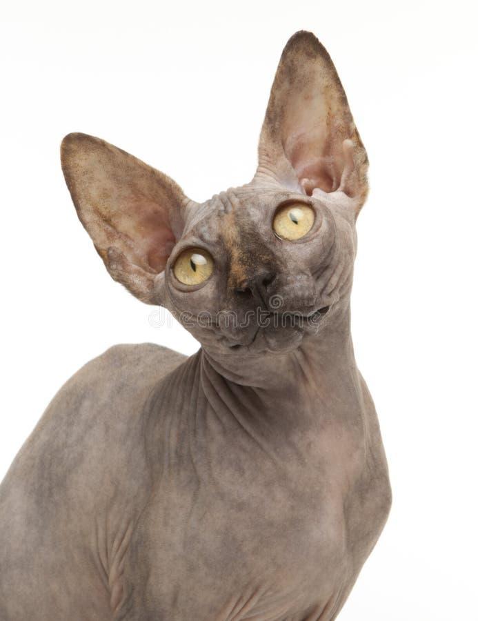 Download Sphynx Cat stock image. Image of pets, ears, kitten, strange - 24134465