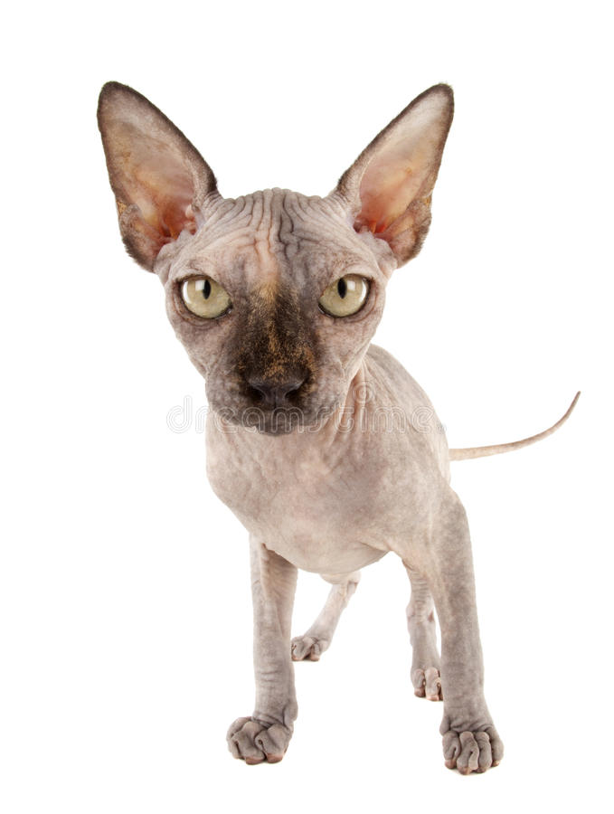 Download Sphynx Cat stock photo. Image of kitten, cute, ears, breed - 24134528