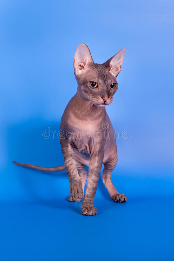 The Sphynx cat on a blue background royalty free stock photo