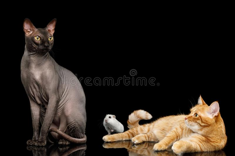 Sphynx Cat with Ginger Friend and hamster on isolated black background royalty free stock images