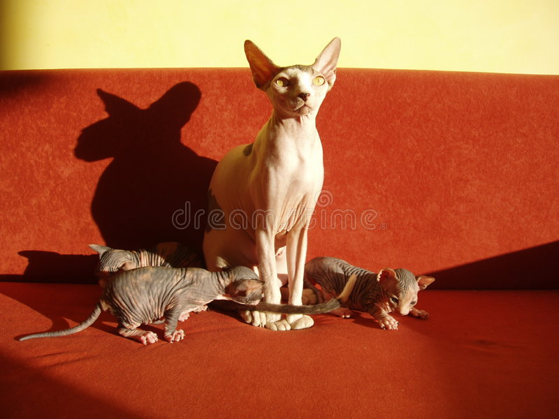 Sphynx cat and kittens stock images