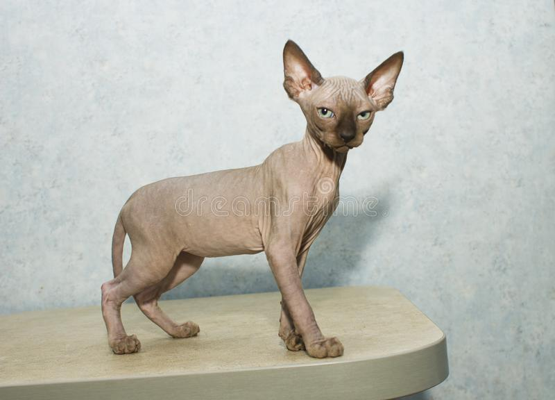 Sphynx cat poses for a photo shoot. Very smart kitten who likes to be photographed. Important strict cat stock photo