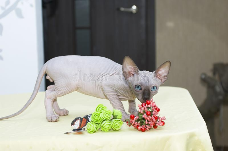 Sphynx cat poses for a photo shoot royalty free stock images