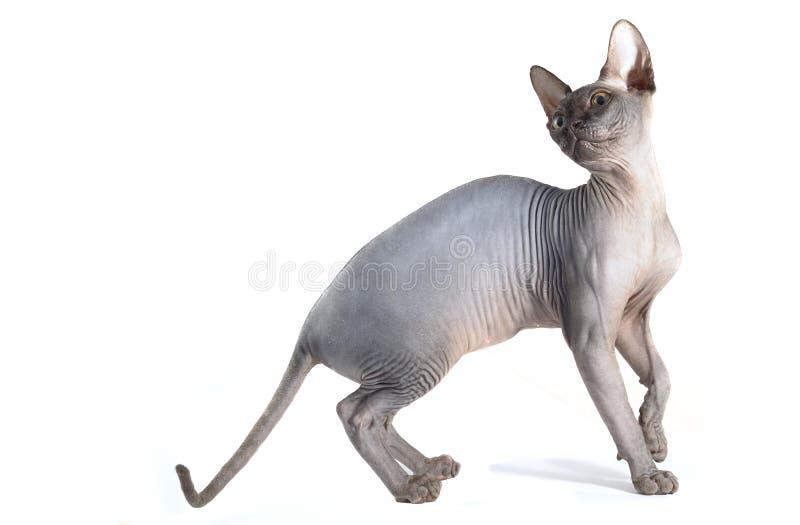 Sphynx chat isolé en blanc image stock