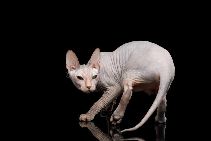 Sphynx cor-de-rosa Cat Isolated no fundo preto foto de stock
