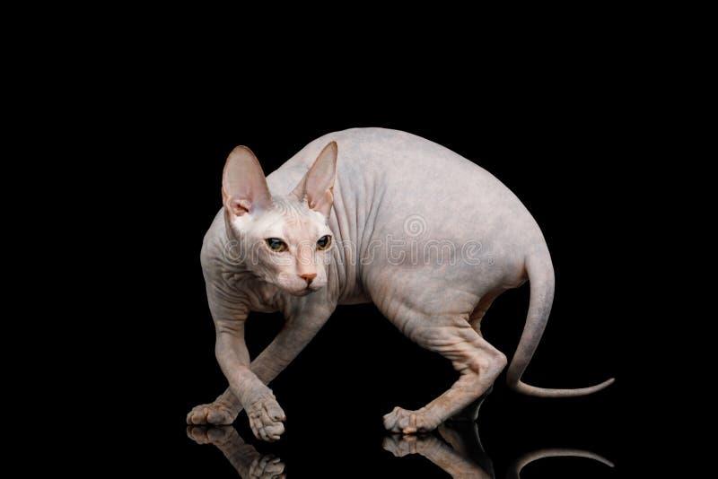 Sphynx cor-de-rosa Cat Isolated no fundo preto imagem de stock