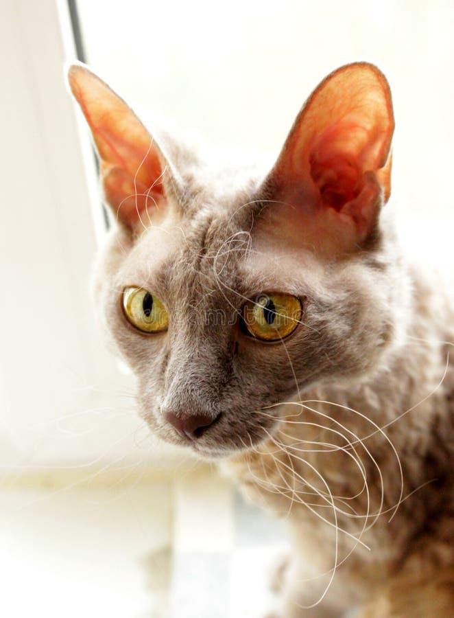 Sphynx-gato gris asombroso fotos de archivo