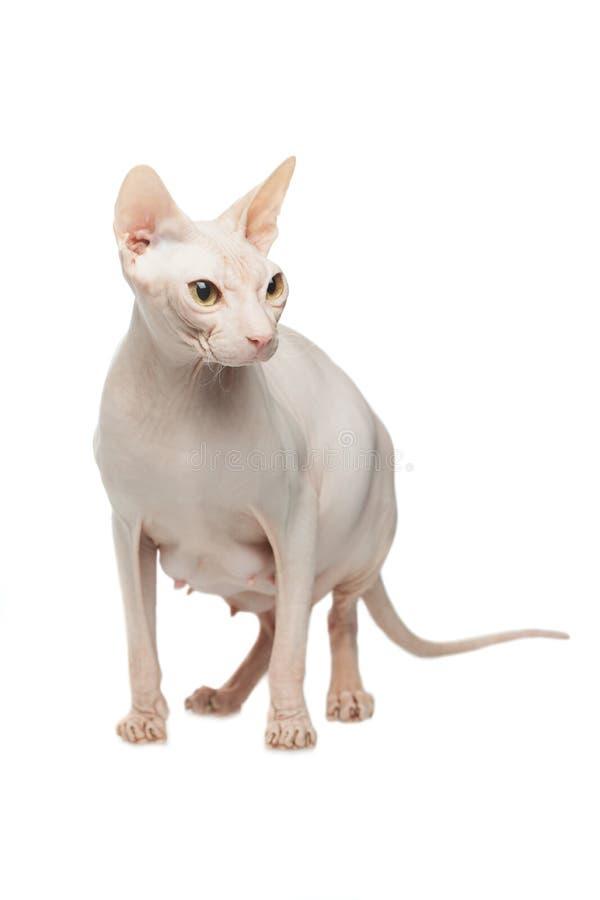 Sphynx het kale kat stellen op een witte achtergrond stock foto's