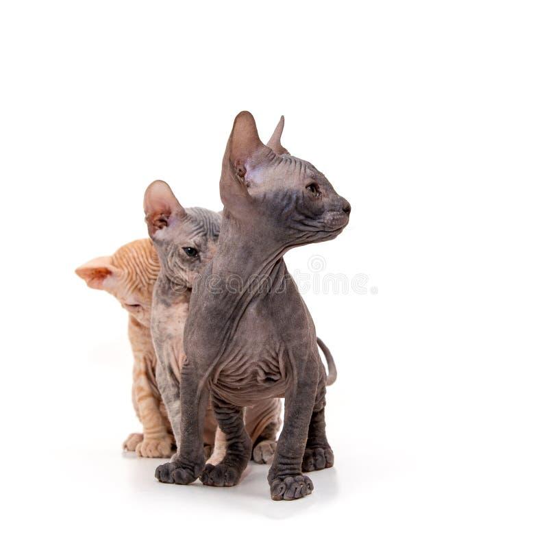 Sphynx-Kätzchen lokalisiert auf Weiß stockfotografie
