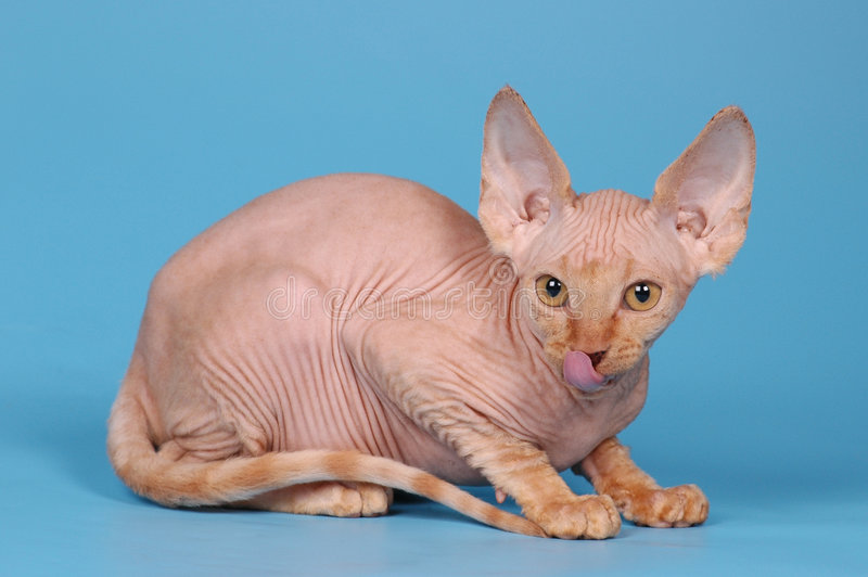 Sphynx Kätzchen-Weißfarbe stockfotos