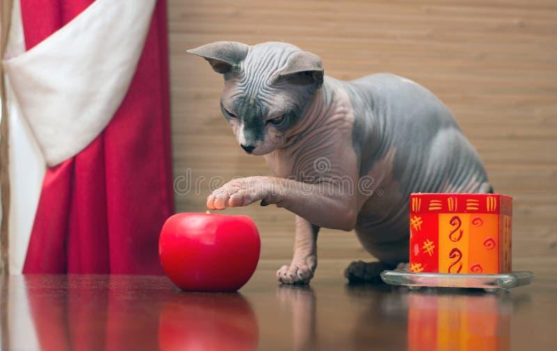Sphynx katt royaltyfri bild