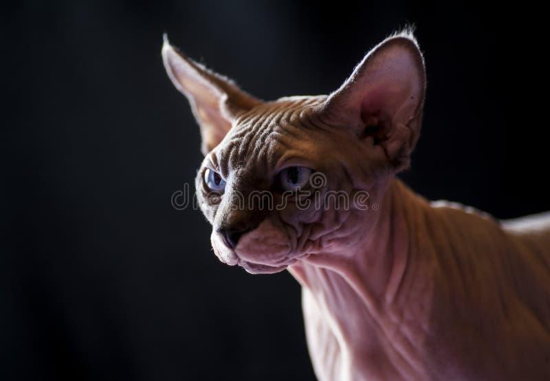 Sphynx katt royaltyfri foto