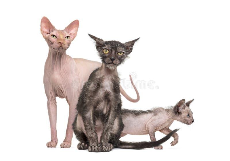 Sphynx katt med två Lykoi kattungar arkivbild