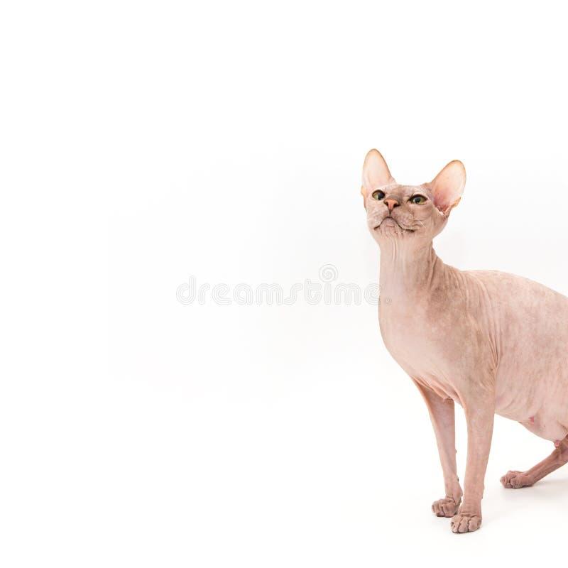 Sphynx kattunge som isoleras på vit arkivfoton