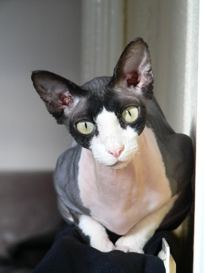 Sphynx Katze stockbild