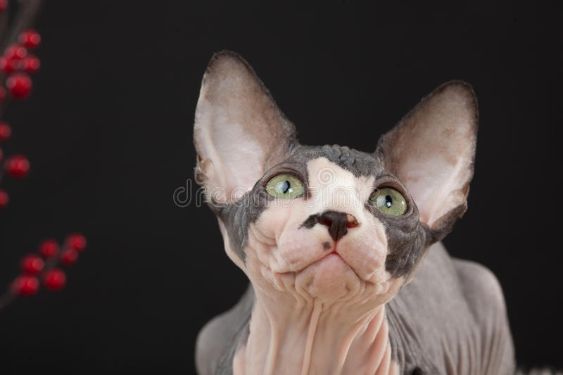 Download Sphynx Kitten Royalty Free Stock Photography - Image: 23496377
