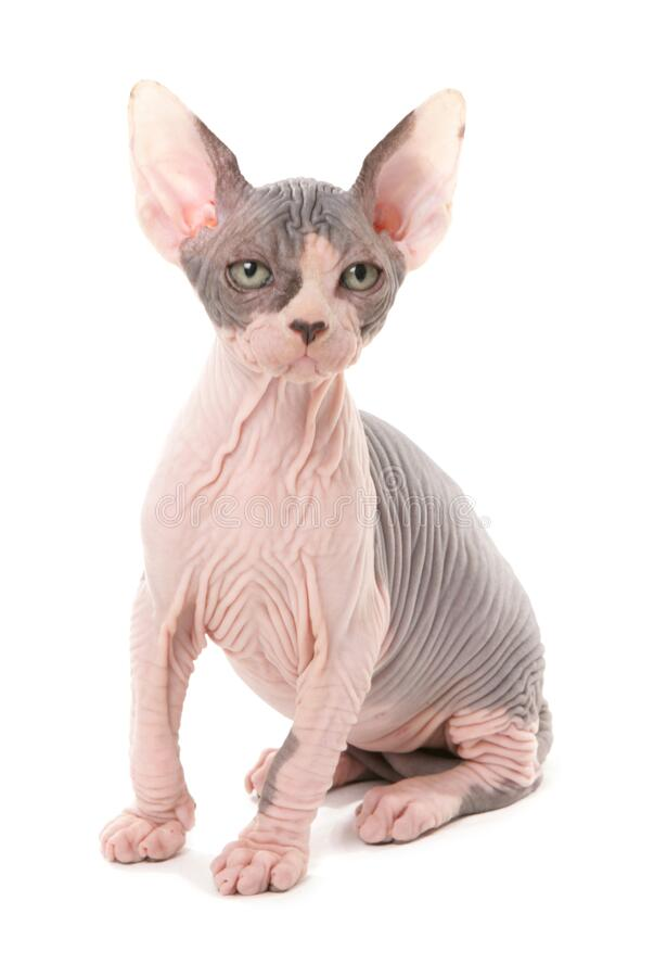 Free Sphynx Kitten Isolated On A White Background Royalty Free Stock Photos - 210377678