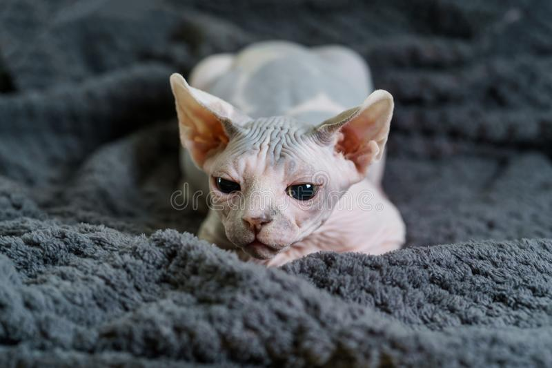 Sphynx kitten with wary look. Sphynx kitten with a wary look waiting to catch the toy. Little domestic cat with bald skin royalty free stock image