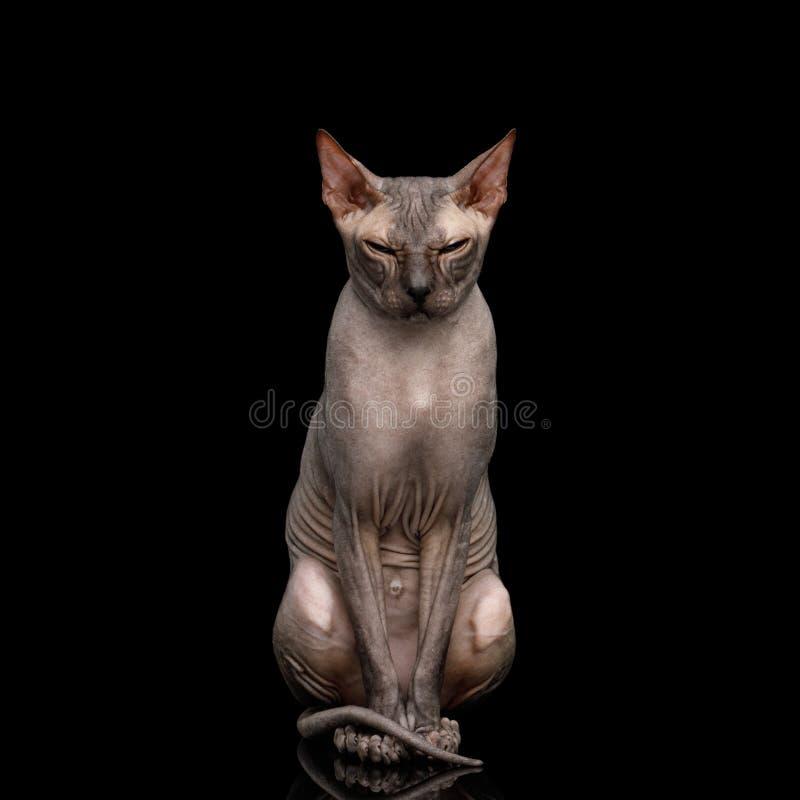 Sphynx kot na czarnym tle fotografia royalty free