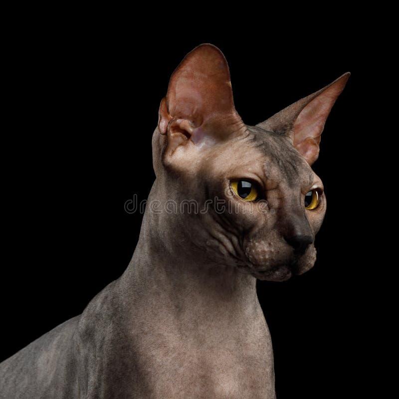 Sphynx kot na czarnym tle zdjęcie royalty free