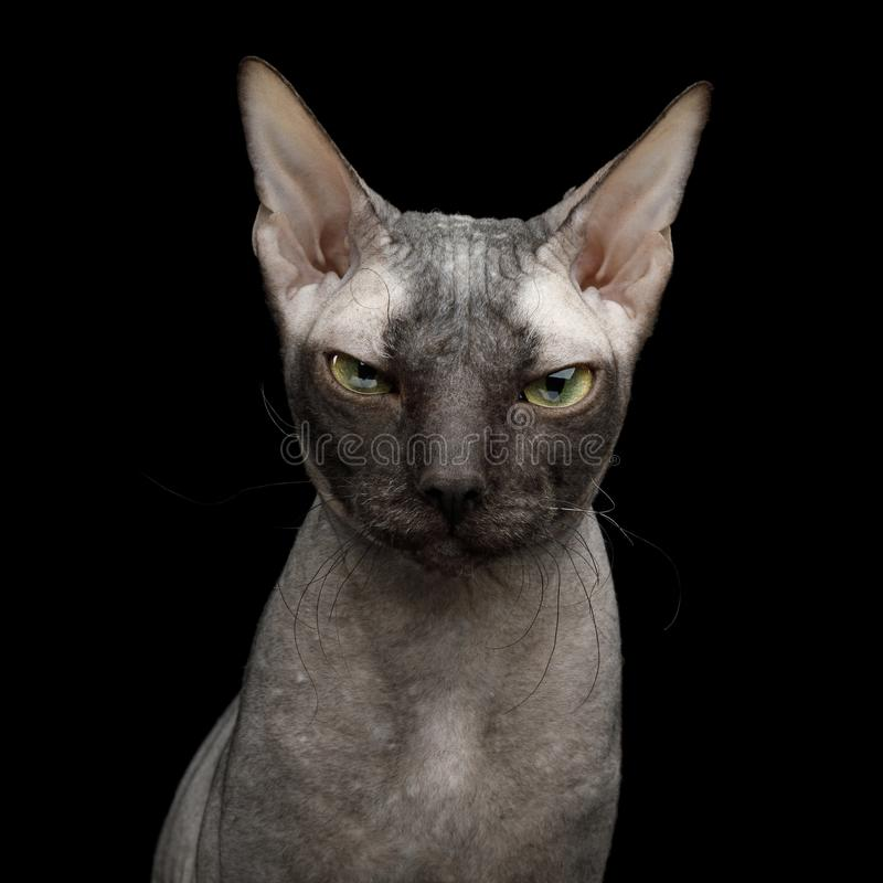 Sphynx kot na odosobnionym czarnym tle zdjęcia stock