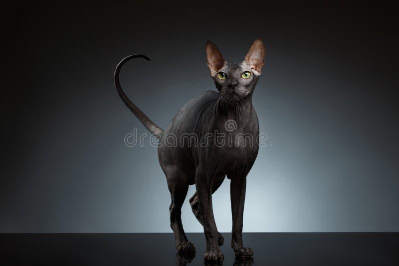 Sphynx kot Stoi Przyglądającego up na czerni i mruży obraz stock