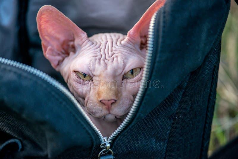 Sphynx kot w plecaku fotografia royalty free