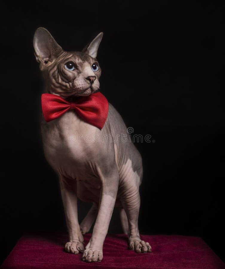 Sphynx kot z łęku krawatem obraz royalty free